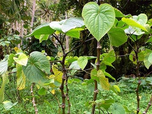 Afbeeldingsresultaat voor خواص گیاه کاواکاوا
